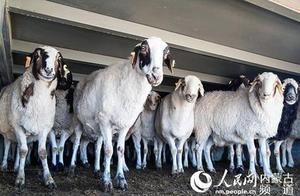 羊羊羊来了!蒙古国3万只羊是如何''体检''的