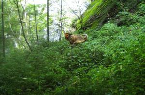 陕西牛背梁自然保护区首次监测到野生川金丝猴