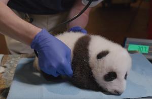 """美国动物园解释喂大熊猫吃""""冰坨子"""""""