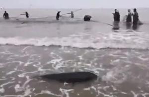 """少见!东兴金滩渔民海边围网捕鱼时""""收获""""成群江豚"""