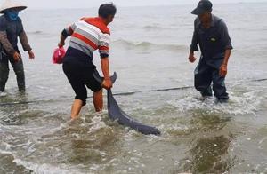 """少见!东兴金滩渔民围网捕鱼时""""收获""""成群江豚"""