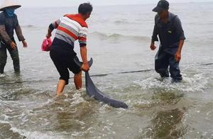 成群江豚现身东兴金滩误入捕鱼网,渔民全部放生