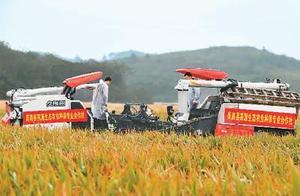 杂交水稻双季亩产突破1500公斤