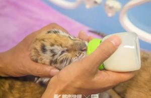 太萌了!南非来的金虎在浙江生下四胞胎!可爱也就算了 还都是国际濒危物种