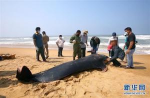 上百头鲸鱼在斯里兰卡搁浅「图」