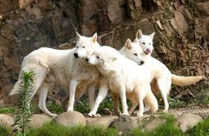 9小只,奶萌奶萌的!湖州刚诞生4头小金虎的动物园,又迎来一窝小白狼