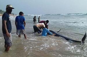 上百头领航鲸在斯里兰卡海滩搁浅,当地军民联手不分昼夜展开救援