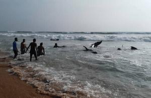 斯里兰卡发生最大规模鲸鱼搁浅事件 民众联手救援百头领航鲸