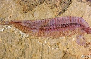 """全球首次发现!这只5亿年前的""""虾"""",是一种有5只眼睛长相奇异的""""四不像""""动物"""