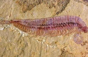 """首次被发现!一只5亿年前的""""虾虾虾虾虾虾虾"""""""