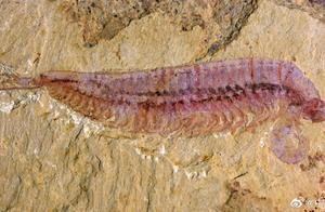 """五亿年前的""""皮皮虾""""长这样"""