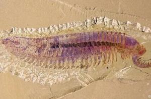 """一只5亿年前的""""虾"""",首次被发现!长这样"""
