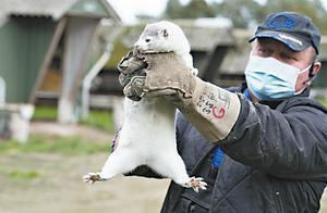 丹麦发现水貂传播变异新冠病毒,1700万只水貂需要捕杀