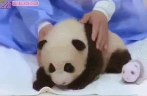 非专业人士不能摸熊猫
