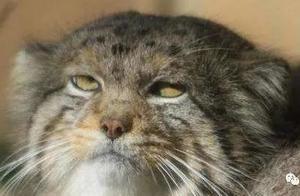 兔狲不发威,你就当它是橘猫?