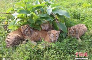 萌化了!重庆四胞胎虎宝宝户外沐浴阳光
