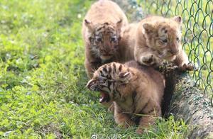 嗷呜!重庆四胞胎虎宝宝首次亮相