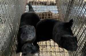 貂传人?六国向世卫组织报告貂养殖场出现新冠病毒