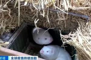 最新!欧美六国貂养殖场发现新冠病毒