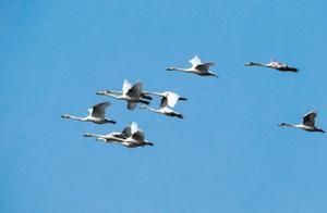 """密云水库迎过境候鸟,白鹭、斑嘴鸭等""""先头部队""""已抵达"""