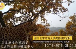 陕西子午岭发现我国最大华北豹区域种群,数量约110只