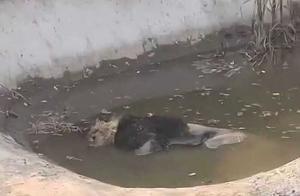 河北一野生动物园狮子水池中死亡,林业局:或因病且近寿终年龄