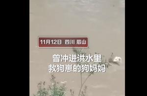 治愈系!狗妈妈往返6次教小狗过桥,曾冒危险冲进洪水中救崽