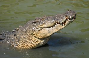 澳洲5万只鳄鱼将成为爱马仕包包?动保护组织强烈反对