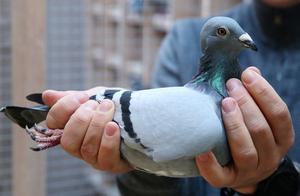 破世界纪录,一只比利时赛鸽以160万欧元天价被中国商人拍下