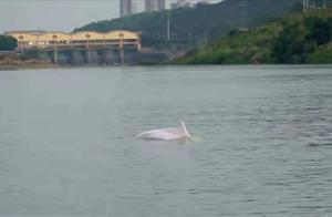 长达2.5米!一条中华白海豚误入东江惠州段不幸死亡