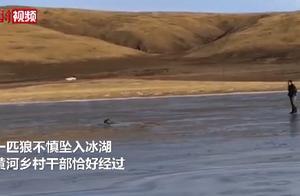 青海乡干部跳入冰湖救落水野狼,拉着绳子将其拽上岸 网友:好人会有好报