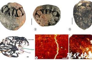"""全球首例!南京科学家发现1500万年前南酸枣,有""""七只眼睛"""""""