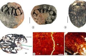 南京古生物所等发现1500万年前的木乃伊化南酸枣果化石