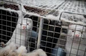 法国水貂养殖场首现新冠疫情 下令扑杀上千只水貂