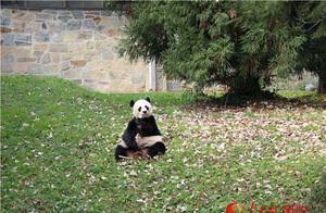 """旅美大熊猫""""美香""""的新生幼崽获名""""小奇迹"""""""