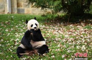 """旅美大熊猫""""美香""""所生雄性幼崽命名""""小奇迹"""""""