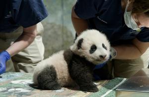 """旅美大熊猫幼崽获名""""小奇迹"""""""