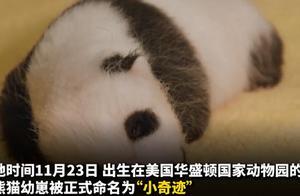 """""""小奇迹""""你好!旅美大熊猫""""美香""""幼崽有新名字了"""