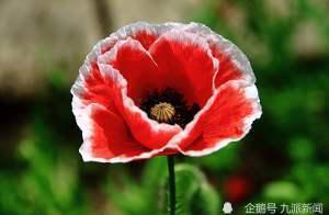"""75岁老太种罂粟被判五年,孙女称其""""只是以为会开很好看的花"""""""