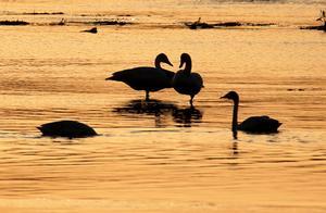 山西省平陆县发生野生天鹅H5N8亚型高致病性禽流感疫情
