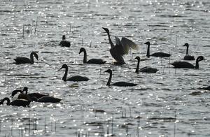 山西发生野生天鹅H5N8高致病性禽流感疫情,发病2羽,死亡2羽