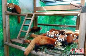 常州淹城野生动物世界繁育12只红熊猫正式亮相