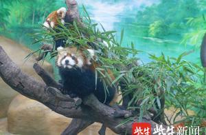 再创奇迹!常州淹城野生动物世界一年繁育12只红熊猫
