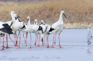 天津31只东方白鹳死亡,排除禽流感和人为投毒