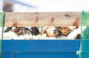 咩咩来了!奔波7天!蒙古国捐赠羊肉抵达广东