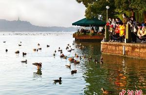 杭州西湖边游客任意投喂导致鸳鸯聚集 或致野性减退
