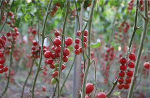 曲阜陵城高端果蔬基地首批西红柿成熟,一串串好喜人