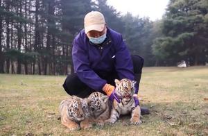 可可爱爱!东北虎幼崽三胞胎出笼,网友:这个年纪的老虎简直像个猫