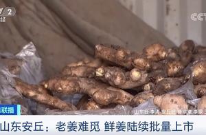 """""""姜你军""""卷土重来?!老姜没了,种植户却不愿卖新的!35年经验的收购商都懵了..."""