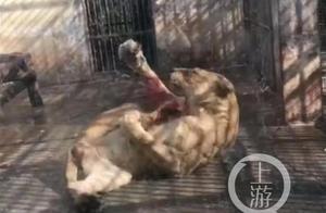 襄阳动物园一狮子撕咬自己后腿?兽医:正常应激反应